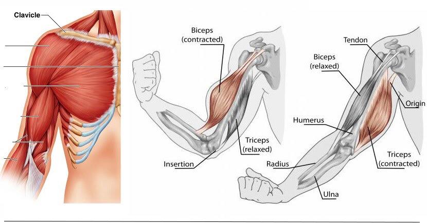 Почему не растут мышцы после тренировок - портал fitline