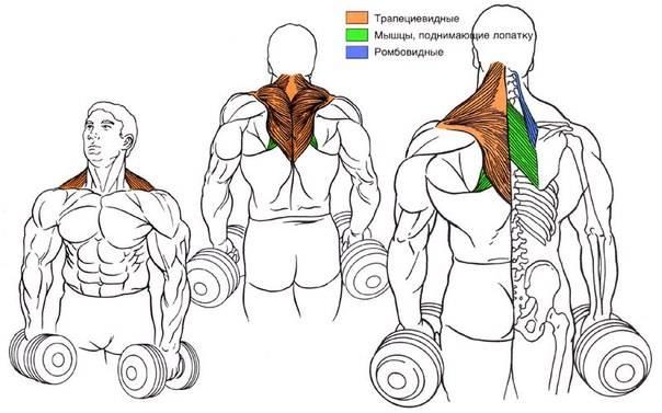 Техника выполнения упражнения шраги со штангой и гантелями