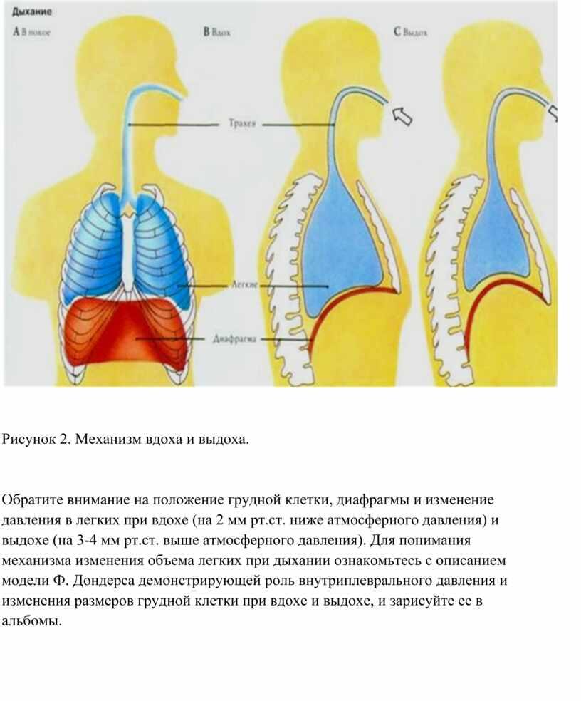 Диафрагмальное дыхание – учимся дышать правильно и с пользой для здоровья
