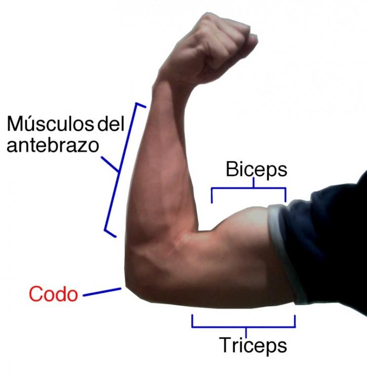 Мышцы рук: анатомия! лучшая информация о мышцах рук!