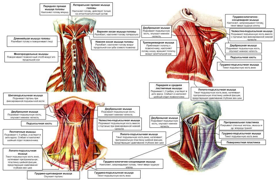 Упражнения для мышц шеи: полный комплекс и подборка действенных тренировок для укрепления шейной мускулатуры и подбородка женщин и мужчин