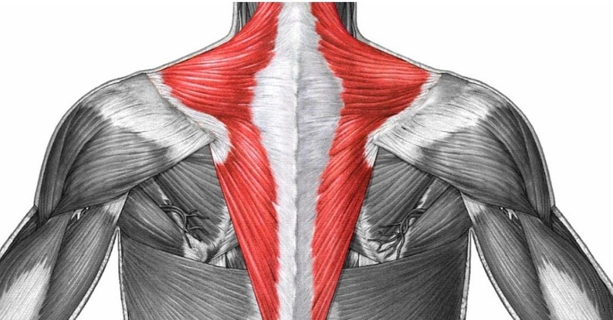 Анатомия мышц спины
