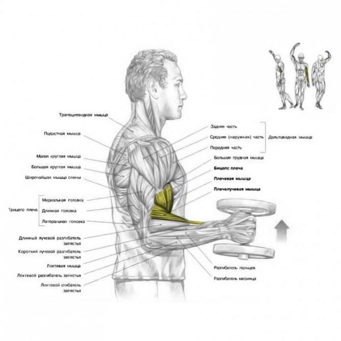 Полезно ли качать мускулы?
