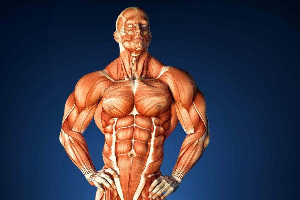 Объем и сила мышц: почему некоторые люди – сильнее, а некоторые – объемнее