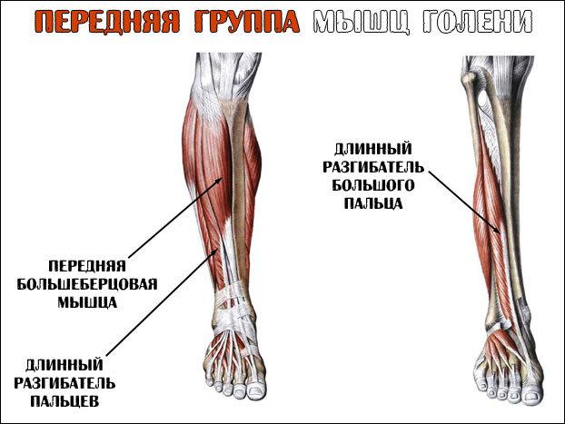Мышц верхних конечностей – особенности строения, функции, лучшие упражнения для тренировки