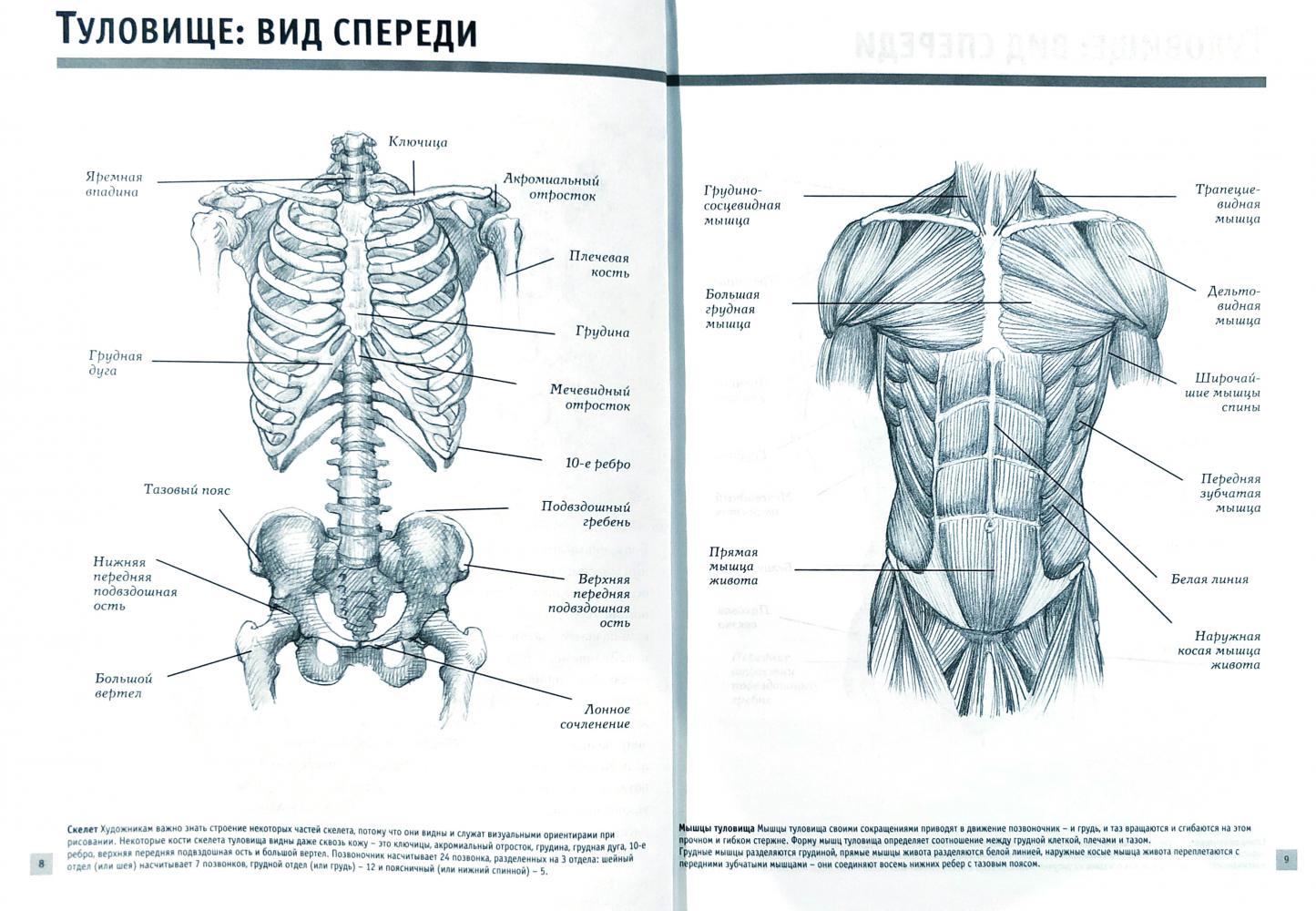 Прокачиваем мышцы спины: руководство для начинающих как сделать спину широкой и рельефной