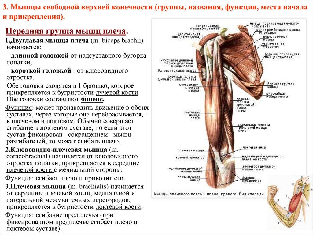 Мышцы плечевого пояса: таблица строения, анатомия и упражнения