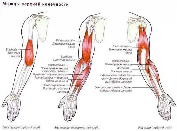 Как развивать плечевую мышцу