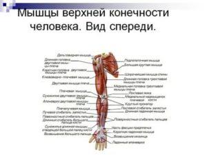 Анатомия и строение мышц ног + подборка лучших упражнений