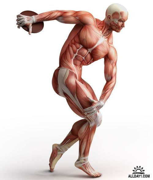 Мелкие и крупные мышцы человека. интересные факты о мышцах, которые поражают своей силой