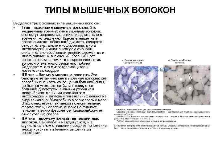 Тест: соотношение медленных и быстрых мышечных волокон