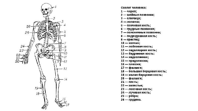 Могут ли быть тяжелые кости у человека? - клиника онлайн