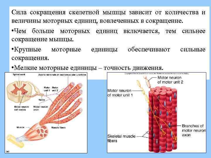 Как растут мышцы - о мышечной гипертрофии у атлетов