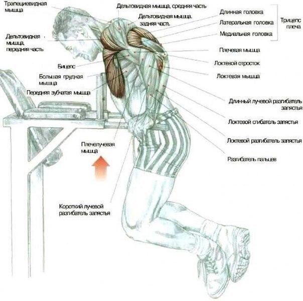 Отжимания на брусьях —техника упражнения, плюсы для мышц груди