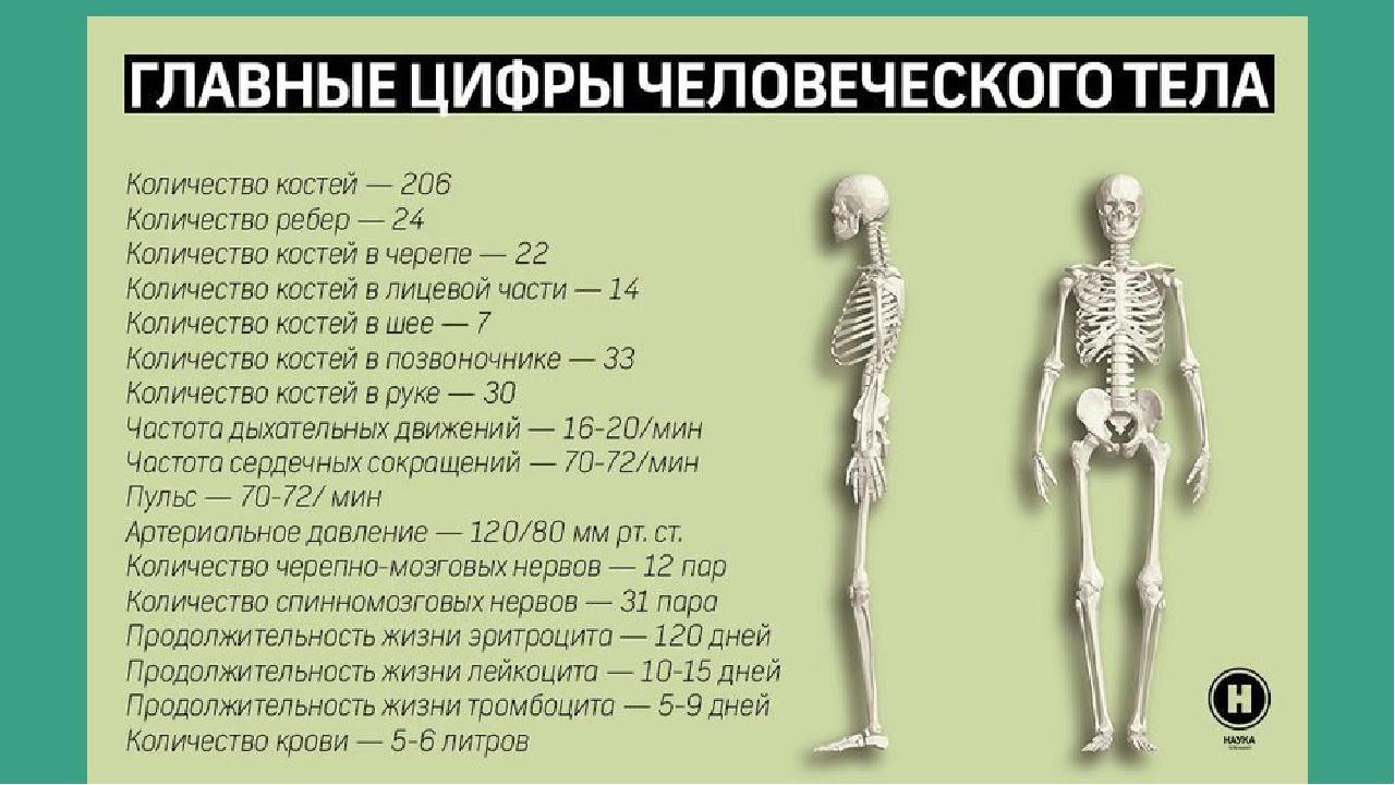 Самая твердая кость в организме человека. какая кость у человека самая прочная, а какая самая хрупкая? самая прочная кость в теле человека - стоматолог 32