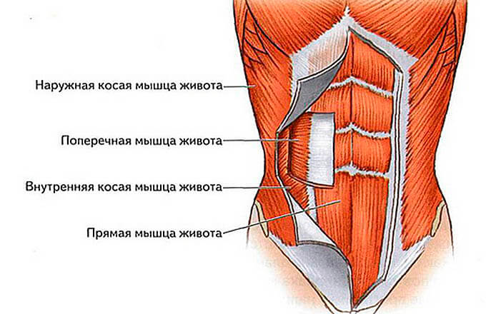Мышцы пресса: анатомия, биомеханика, что нужно знать об упражнениях на мышцы живота