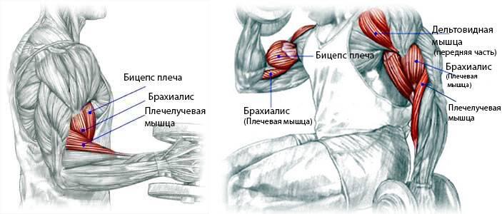 Анатомия: руки