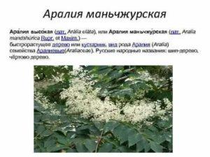 Аралия маньчжурская – полезные свойства, показания к применению