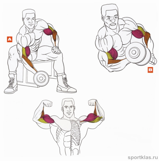Упражнения на бицепс с гантелями: техника выполнения