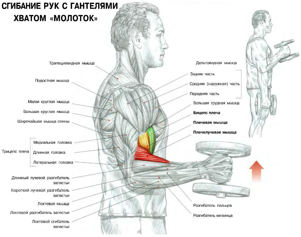 Как быстро накачать руки дома —базовые упражнения с гантелями
