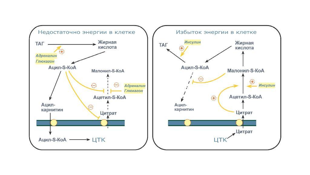 Как сжигается жир в организме человека: повышение метаболизма для сжигания жира