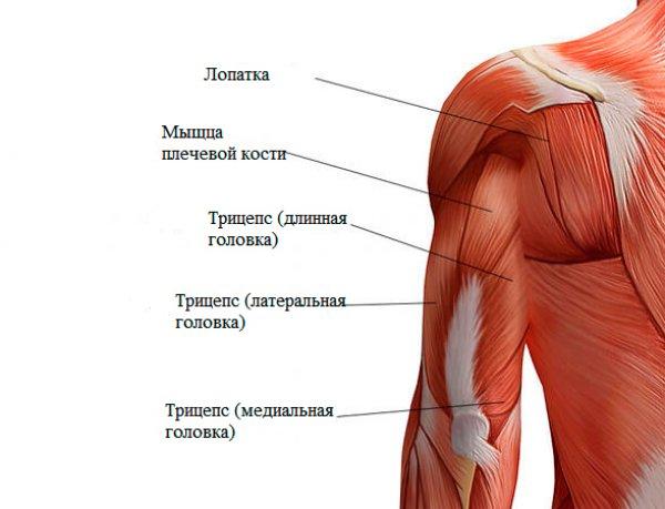 Клювовидно плечевая мышца википедия