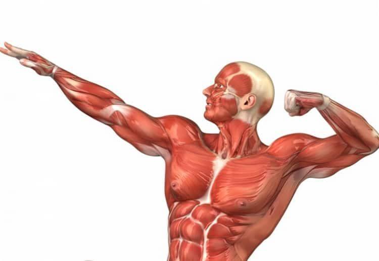 Самая быстрая мышца. 10 самых интересных фактов о мышцах. | интересные факты
