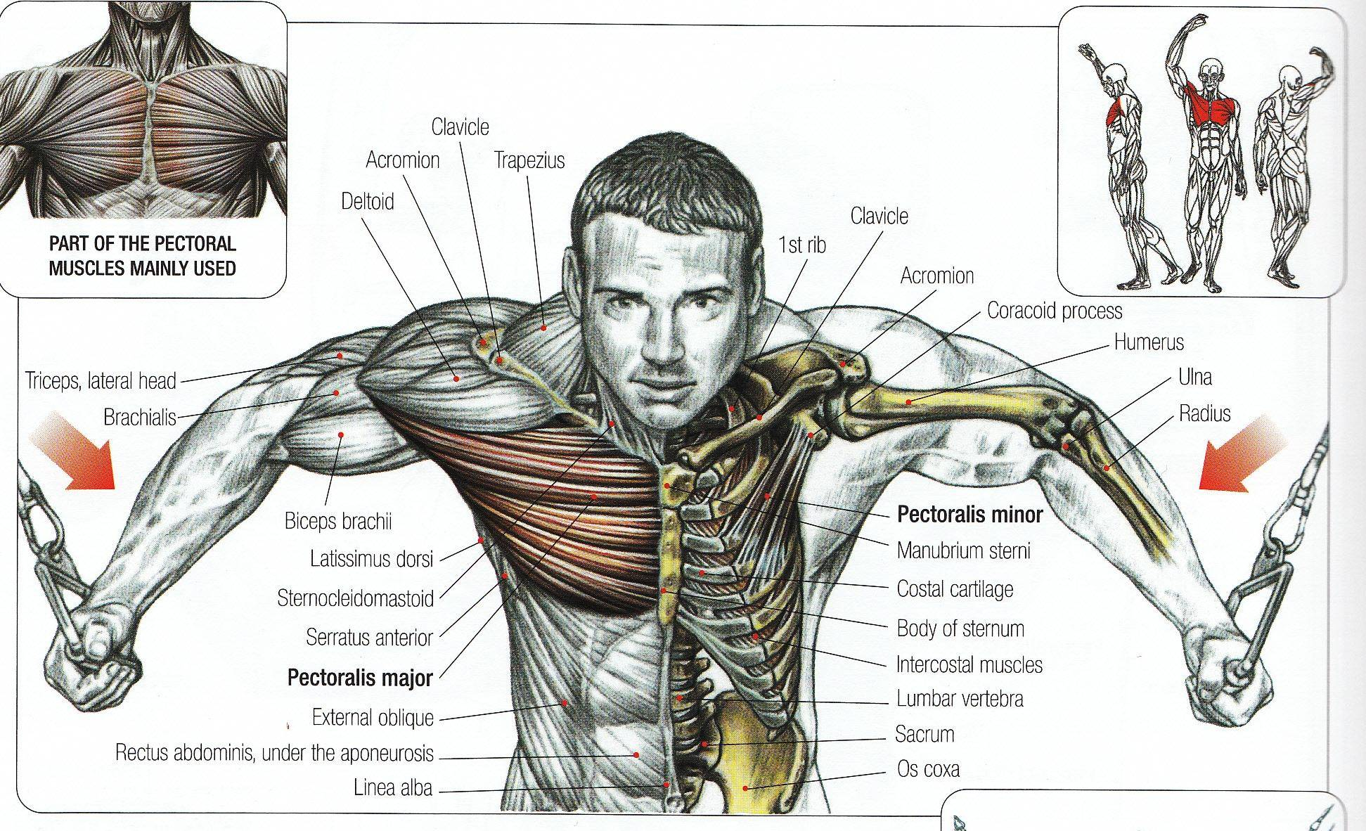 Упражнения на верх грудных мышц: как накачать верхний отдел груди