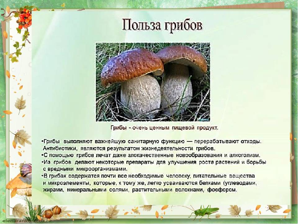 Чайный гриб: полезные свойства и противопоказания для организма