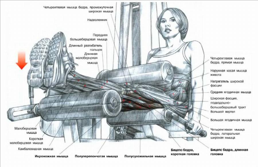 Жим ногами в тренажере: техника выполнения, работающие мышцы