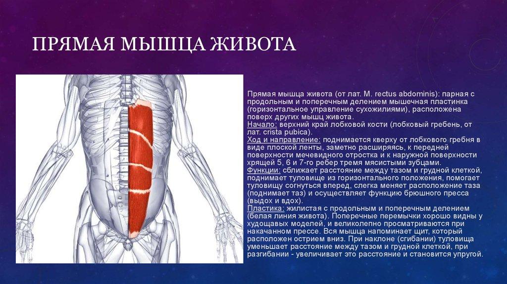 Мышцы пресса живота и таза (низа) человека: анатомия строения, функции верхних, нижних и глубоких отделов