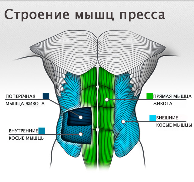 Мышцы пресса: анатомия, физиология, определение, строение, виды и выполняемые функции - tony.ru