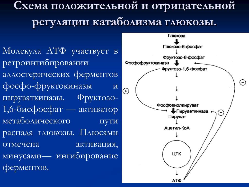 Метаболизм, анаболизм и катаболизм: за счёт чего проходят эти процессы
