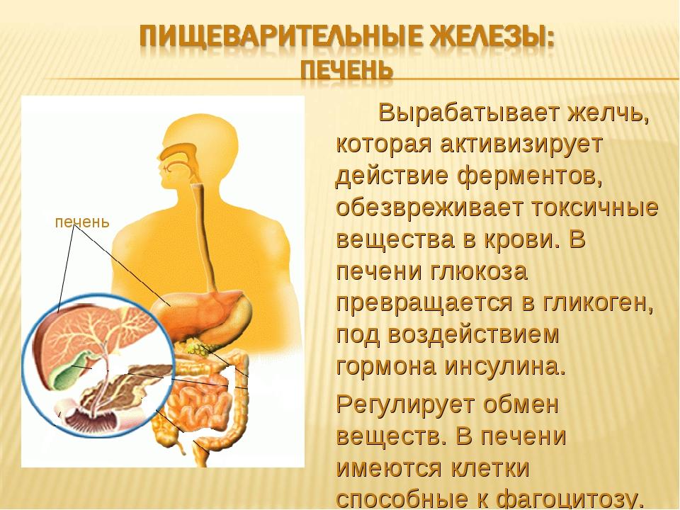 Процесс пищеварения в организме человека