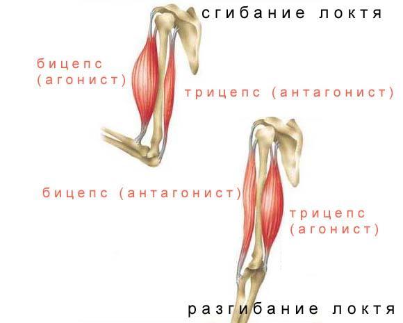 Мышцы антагонисты и синергисты таблица анатомия - красота и здоровье