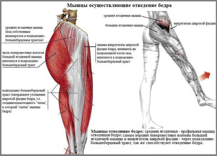 Анатомия ягодичных мышц, как подтянуть ягодицы и сделать попу упругой
