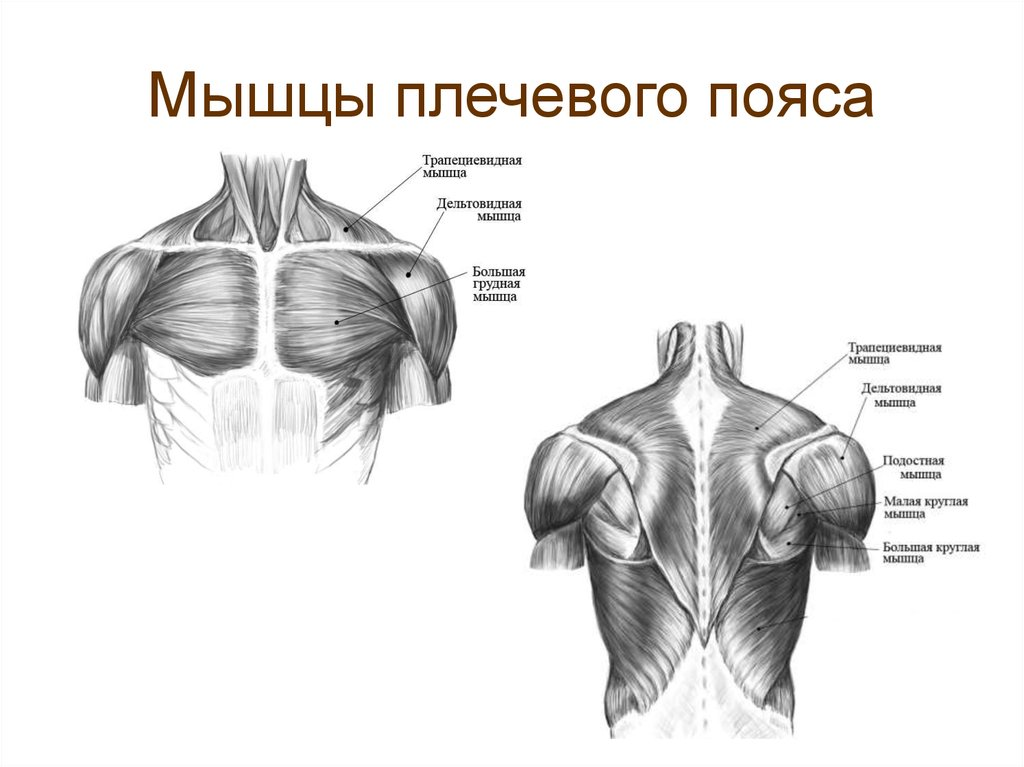 Мышцы пояса верхних конечностей - мышечная система - атлас анатомии человека - г.л. билич 2014