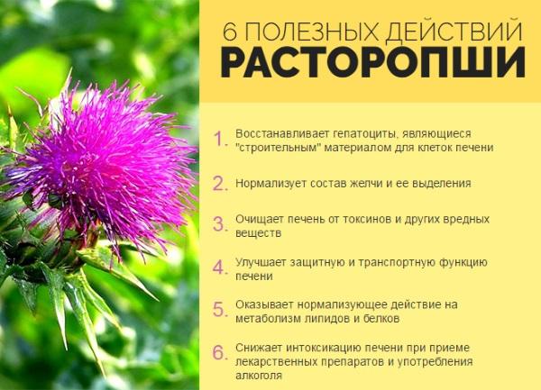 Как принимать расторопшу и лечебные свойства растения