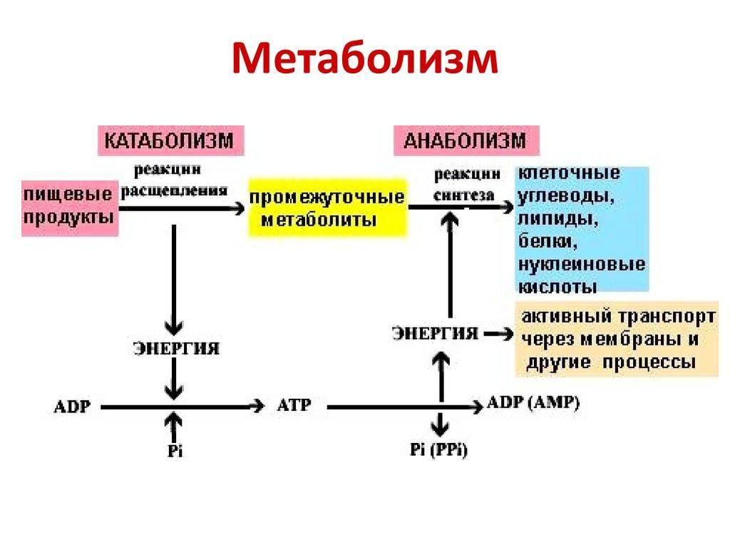 Катаболизм мышечной ткани