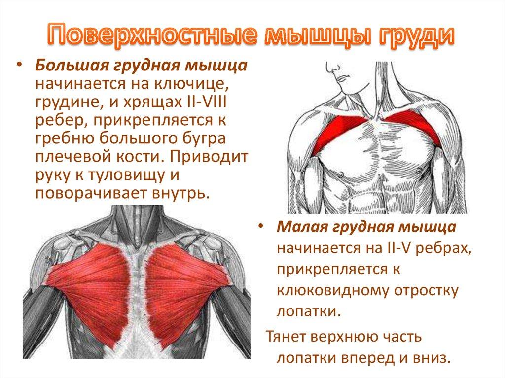 Рудные мышцы у женщин и мужчин: грудино-ключично-сосцевидная, зубчатые, большая и малая, межреберные