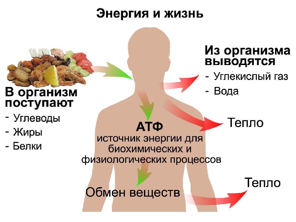 Метаболизм: что это такое и как его улучшить