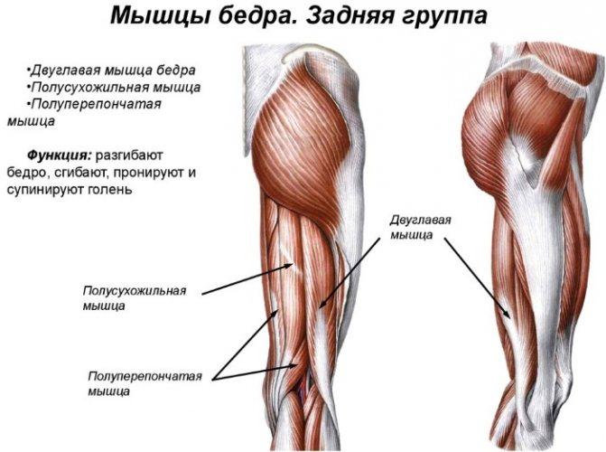 Анатомия мышц бедра. передняя и задняя группы.