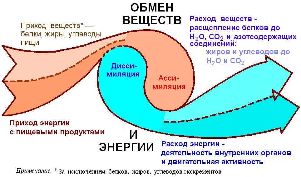 Обмен веществ(метаболизм)-что это и как его ускорить.