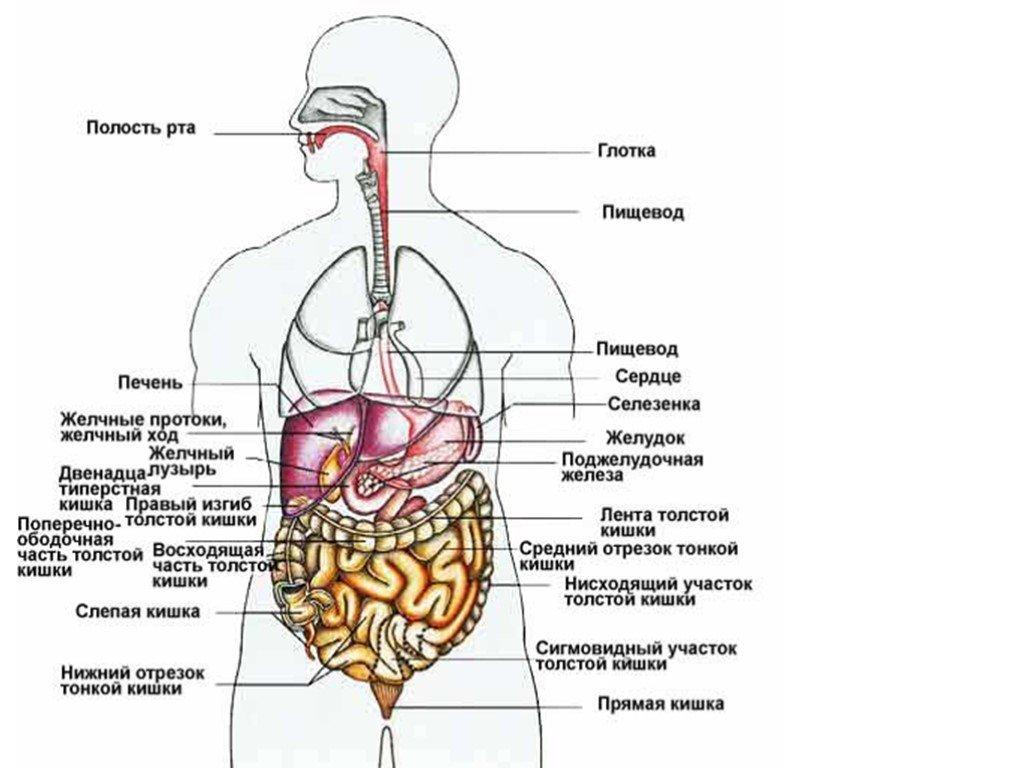 Строение и функции желудка