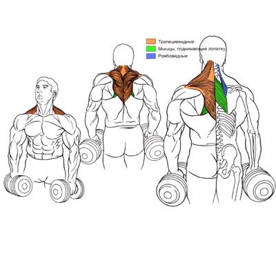 Техника выполнения шрагов с гантелями и преимущества упражнения