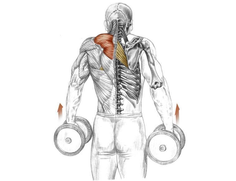 Шраги с гантелями: техника выполнения упражнения (стоя, сидя и в наклоне) и какие мышцы работают