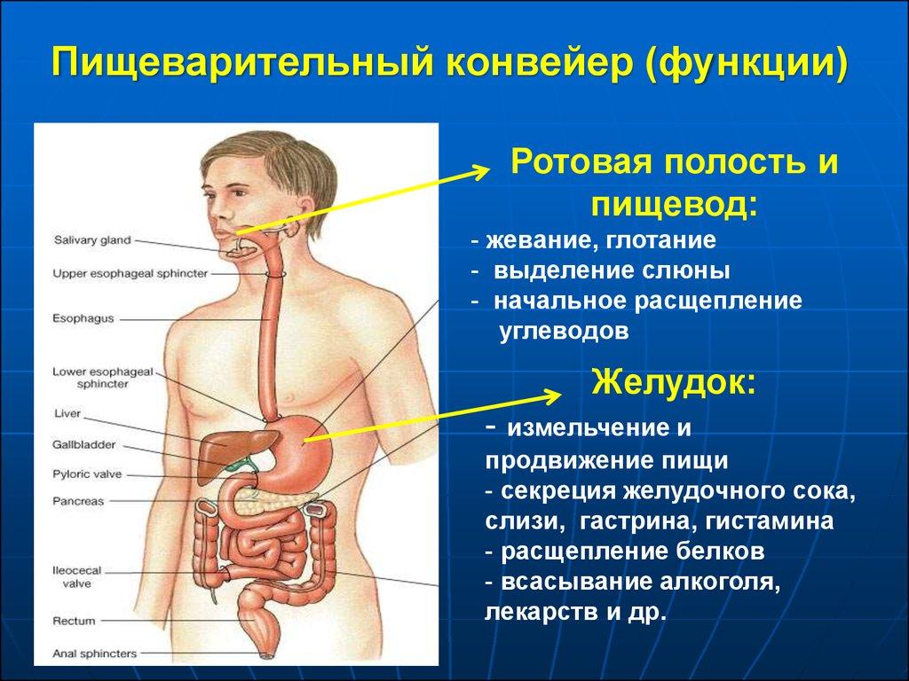 Пищеварительные ферменты: какова их роль в организме и чем грозит нехватка этих веществ