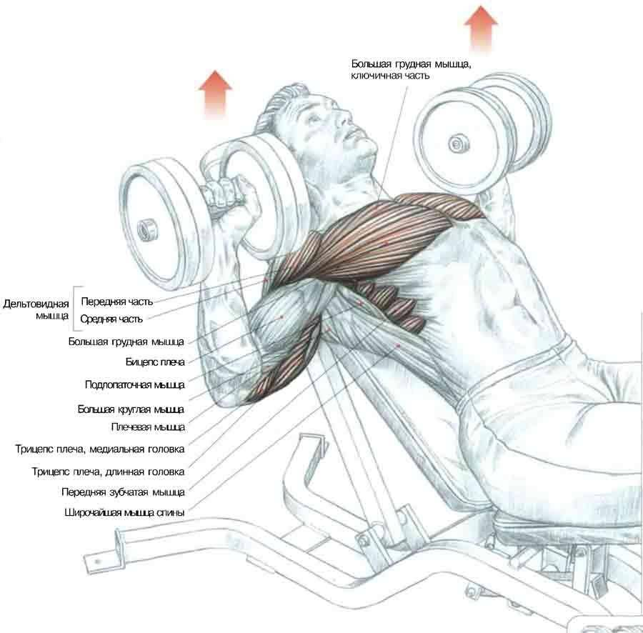 Жим гантелей лежа— техника выполнения упражнения и ошибки
