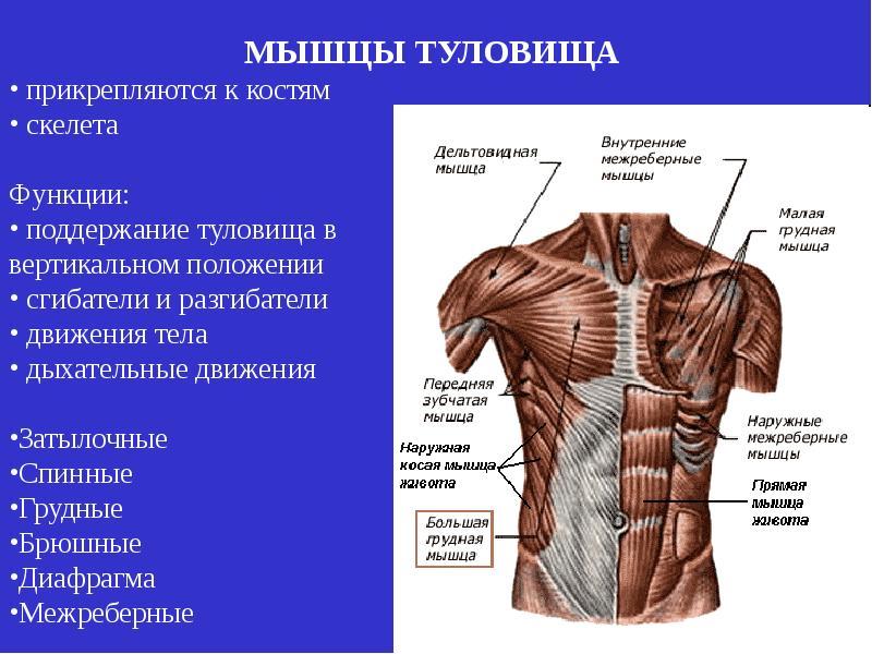 Что собой представляет большая грудная мышца? | анатомия чем отличается женская большая грудная мышца от мужской? | анатомия