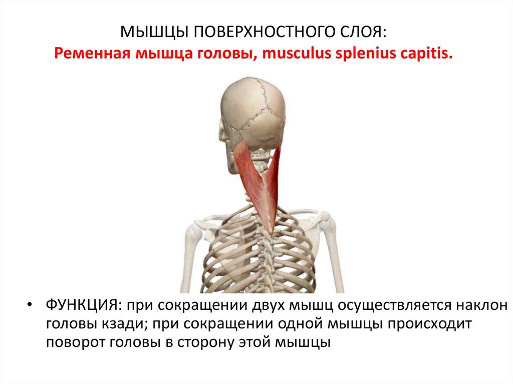 Ременная мышца головы: симптомы, лечение и профилактика заболеваний